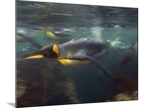 King Penguin, Underwater, Sub Antarctic-Tobias Bernhard-Mounted Photographic Print