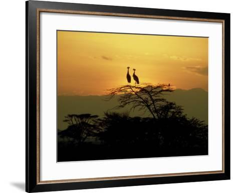 Crowned Cranes, 2 on Tree at Sunset, Tanzania-Victoria Stone & Mark Deeble-Framed Art Print