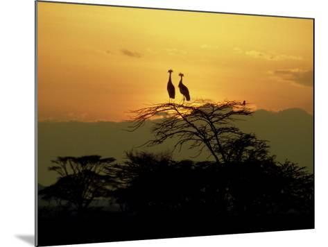 Crowned Cranes, 2 on Tree at Sunset, Tanzania-Victoria Stone & Mark Deeble-Mounted Photographic Print