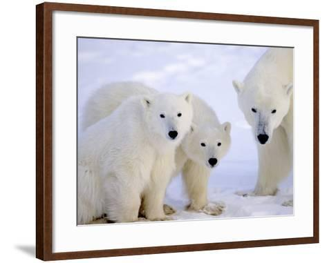 Polar Bears, Mother and Young, Manitoba, Canada-Daniel J. Cox-Framed Art Print
