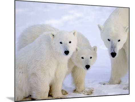 Polar Bears, Mother and Young, Manitoba, Canada-Daniel J. Cox-Mounted Photographic Print