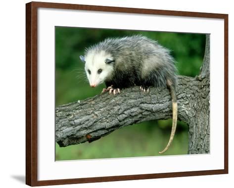 Opossum on Branch, USA-Mark Hamblin-Framed Art Print