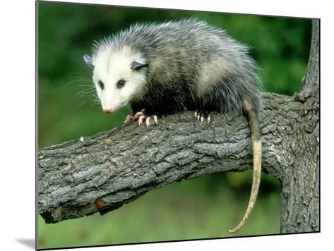Opossum on Branch, USA-Mark Hamblin-Mounted Photographic Print