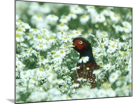 Pheasant, Male in Mayweed, UK-Mark Hamblin-Mounted Photographic Print