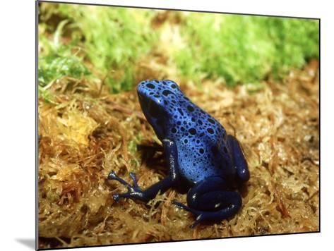 Blue Poison Dart Frog, Surinam-Andrew Bee-Mounted Photographic Print
