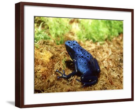 Blue Poison Dart Frog, Surinam-Andrew Bee-Framed Art Print