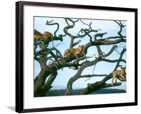 Lionesses in Dead Acacia Tree, Tanzania-Mary Plage-Framed Art Print