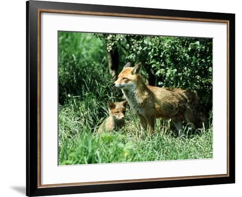 Fox, Vixen with Cub, Surrey-David Tipling-Framed Art Print