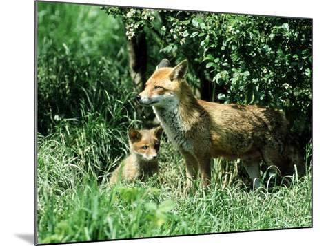 Fox, Vixen with Cub, Surrey-David Tipling-Mounted Photographic Print