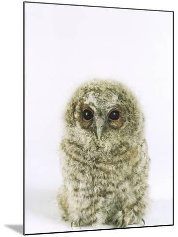 Tawny Owl, Young-Les Stocker-Mounted Photographic Print