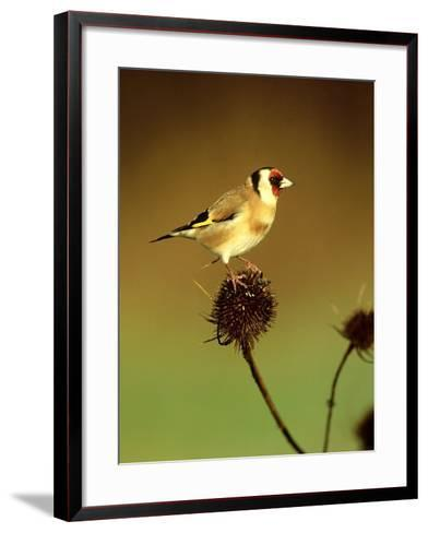 Goldfinch on Teasel, UK-David Tipling-Framed Art Print