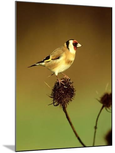 Goldfinch on Teasel, UK-David Tipling-Mounted Photographic Print