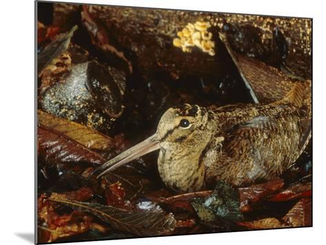 Woodcock, Sitting in Leaves, Aylesbury, UK-Les Stocker-Mounted Photographic Print