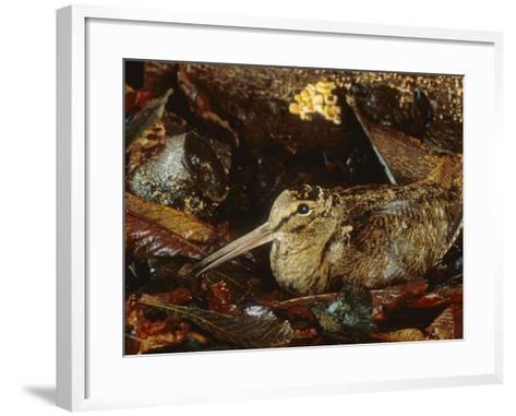 Woodcock, Sitting in Leaves, Aylesbury, UK-Les Stocker-Framed Art Print