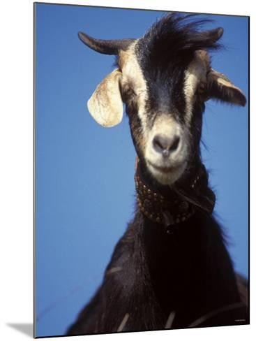 A Single Goat--Mounted Photographic Print