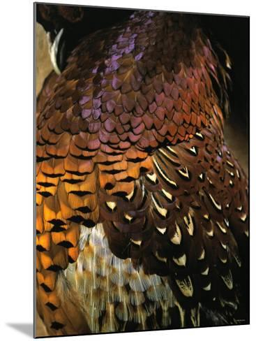 A Pheasant with Colourful Feathers-Nicolas Leser-Mounted Photographic Print