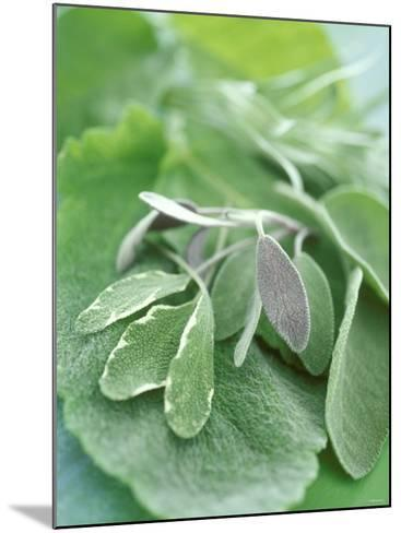 Various Sage Leaves--Mounted Photographic Print