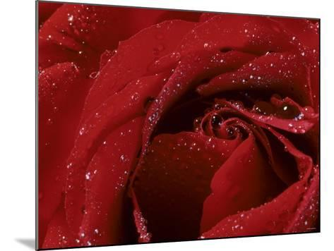 First Red Rose--Mounted Photographic Print