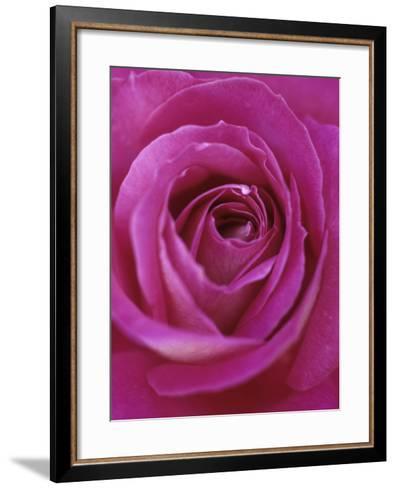 A Hybrid Tea Rose--Framed Art Print
