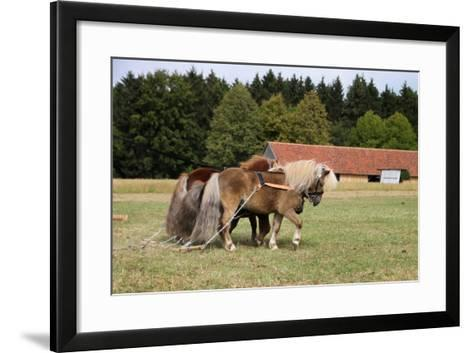 Shetlandponys Als Arbeitspferde-Antje Lindert-Rottke-Framed Art Print