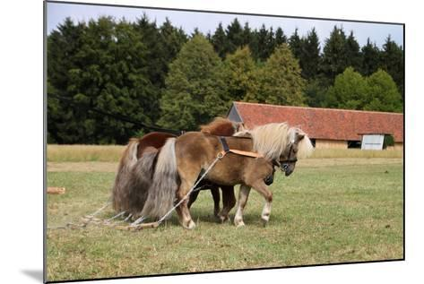 Shetlandponys Als Arbeitspferde-Antje Lindert-Rottke-Mounted Photographic Print