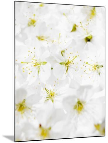 Cherry Blossom-Barbara Lutterbeck-Mounted Photographic Print