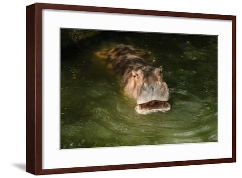 Hippopotamus Showing Huge Jaw and Teeth- kamui29-Framed Art Print