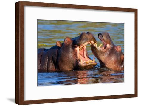 Game Two Young Hippopotamus, Hippopotamus Amphibius,-vladislav333222-Framed Art Print