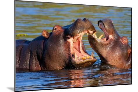 Game Two Young Hippopotamus, Hippopotamus Amphibius,-vladislav333222-Mounted Photographic Print