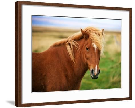 Icelandic Horse in the Field-dislentev-Framed Art Print