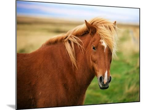 Icelandic Horse in the Field-dislentev-Mounted Photographic Print