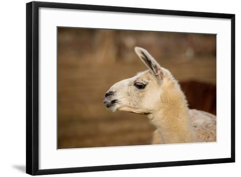 White Llama Head Shot Profile Pursed Lips- photobyjimshane-Framed Art Print