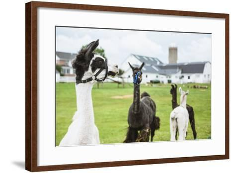 Four Lama's on Farm in Amish Country- epstock-Framed Art Print