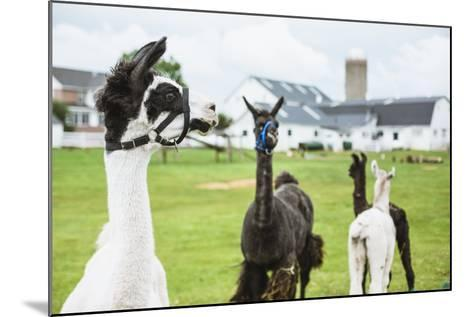Four Lama's on Farm in Amish Country- epstock-Mounted Photographic Print