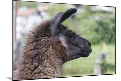 Lamas in the Farm-spetenfia-Mounted Photographic Print