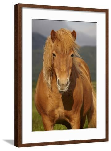 Icelandic Wild Horse Closeup- h368k742-Framed Art Print