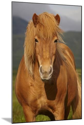 Icelandic Wild Horse Closeup- h368k742-Mounted Photographic Print