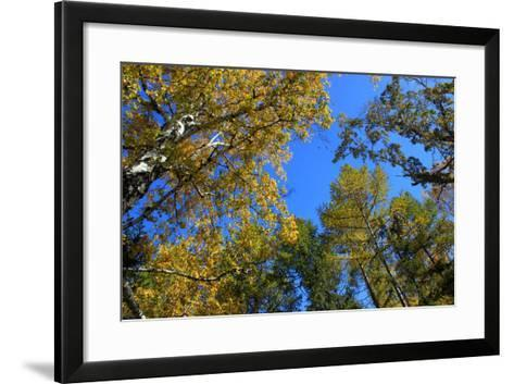 Autumn. Gold Birch and Larch Tops against Blue Sky-???????? ??????-Framed Art Print