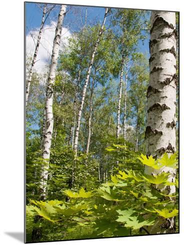 Birch Grove-Nataliya Dvukhimenna-Mounted Photographic Print