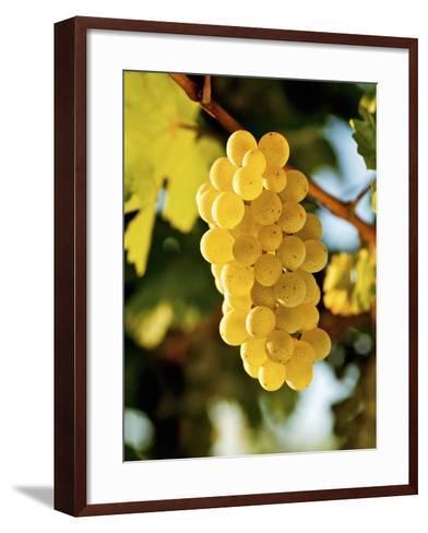 Ripe White Wine Grapes on Vine (Grüner Veltliner, Lower Austria)-Herbert Lehmann-Framed Art Print