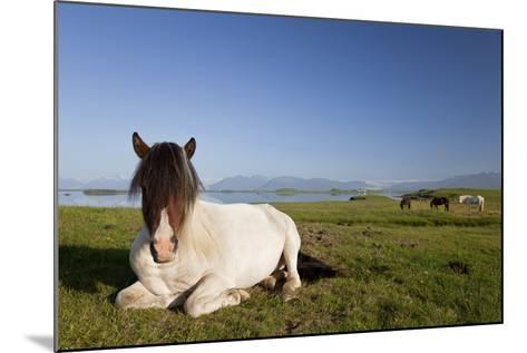 Icelandic Horse at Rest in A Field-Darren Baker-Mounted Photographic Print
