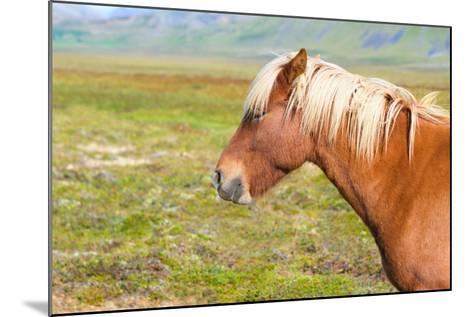 Icelandic Horse-Natalia Pushchina-Mounted Photographic Print