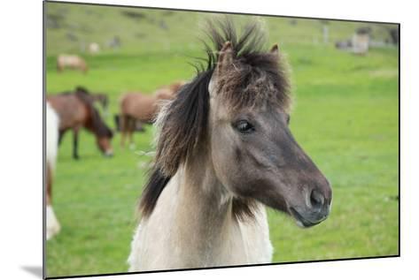 Island Pferde- Siegmar-Mounted Photographic Print