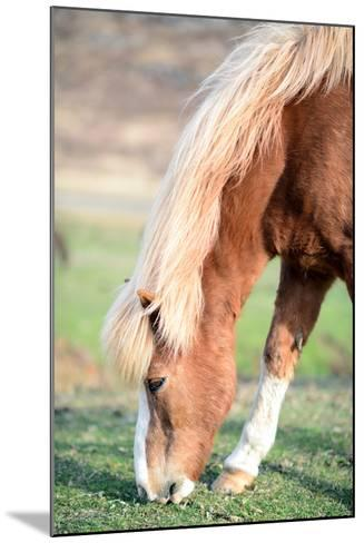 Icelandic Horse Grazing-Aleksandar Mijatovic-Mounted Photographic Print