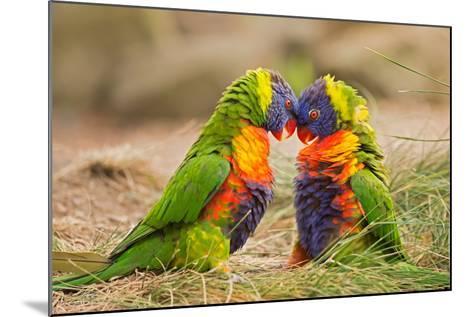 Rainbow Lorikeets (Trichoglossus Haematodus) Fighting- miroslav_1-Mounted Photographic Print