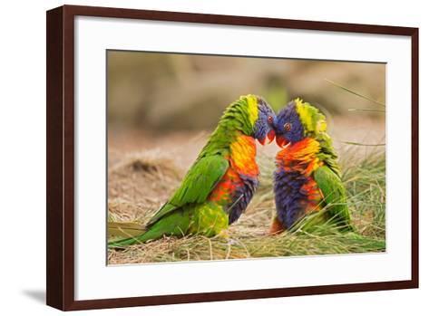 Rainbow Lorikeets (Trichoglossus Haematodus) Fighting- miroslav_1-Framed Art Print