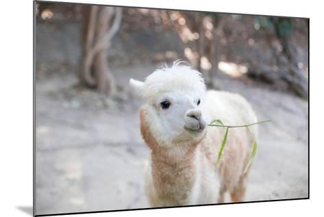 Portrait of Fluffy Young Alpaca (Vicugna Pacos)-pongmanat tasiri-Mounted Photographic Print