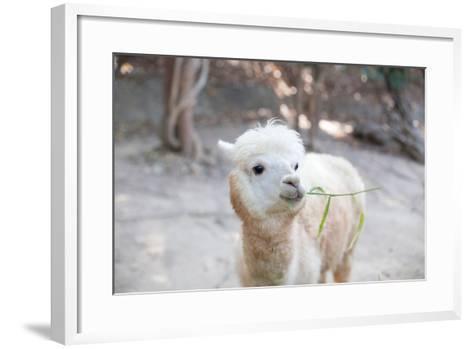 Portrait of Fluffy Young Alpaca (Vicugna Pacos)-pongmanat tasiri-Framed Art Print
