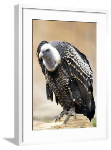 Vulture Full Length Plumage-stefano pellicciari-Framed Art Print