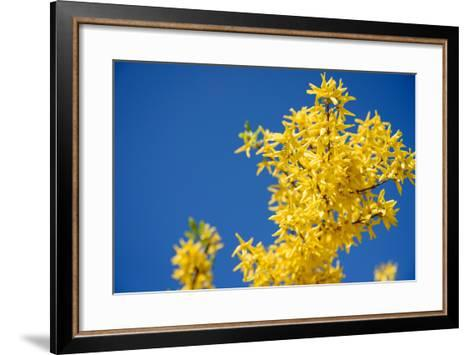 Yellow Flowers of Forsythia against the Blue Sky- irishasel-Framed Art Print